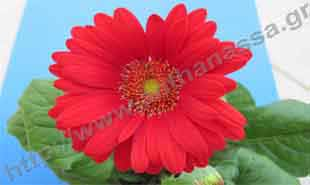 _Flower of gerbera.
