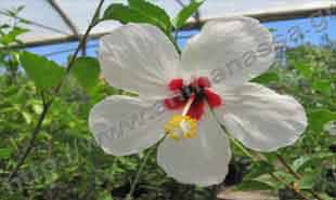 _Flower of hibiscus sinensis.
