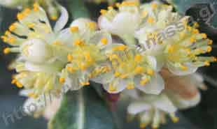 _Flower of laurus.