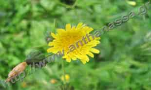 _Flower of sow thistle.