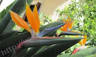 _Flower of strelitzia reginae.