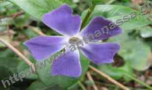 _Flower of vinca major.