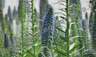 _Flower of viper bugloss.