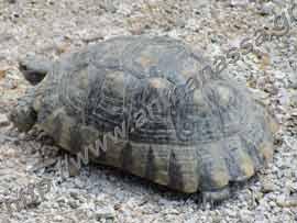 Η χελώνα της ανθανασσα