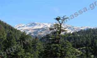 _Mountain Parnassus and fir tree.